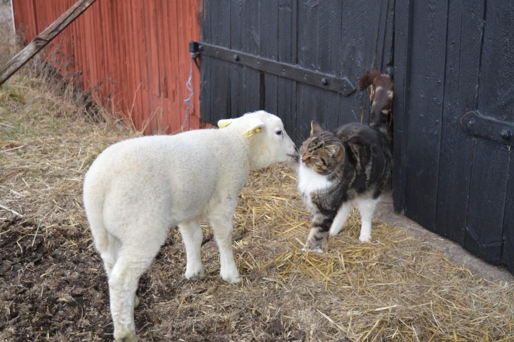 Nyfiket lamm och tålmodig katt