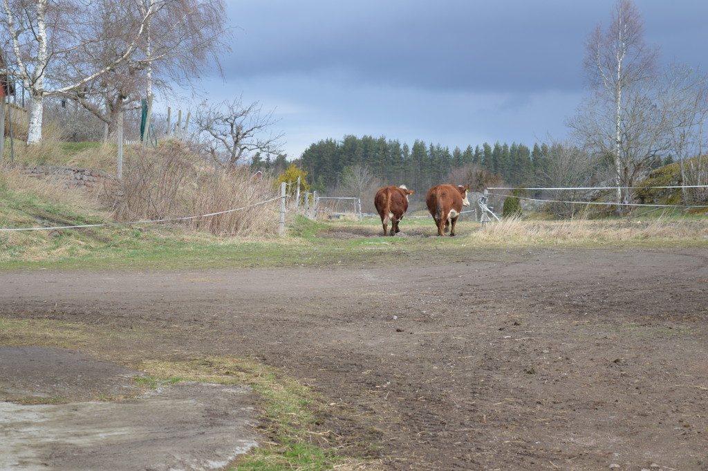 Ko-lugn promenad till betesmarken.