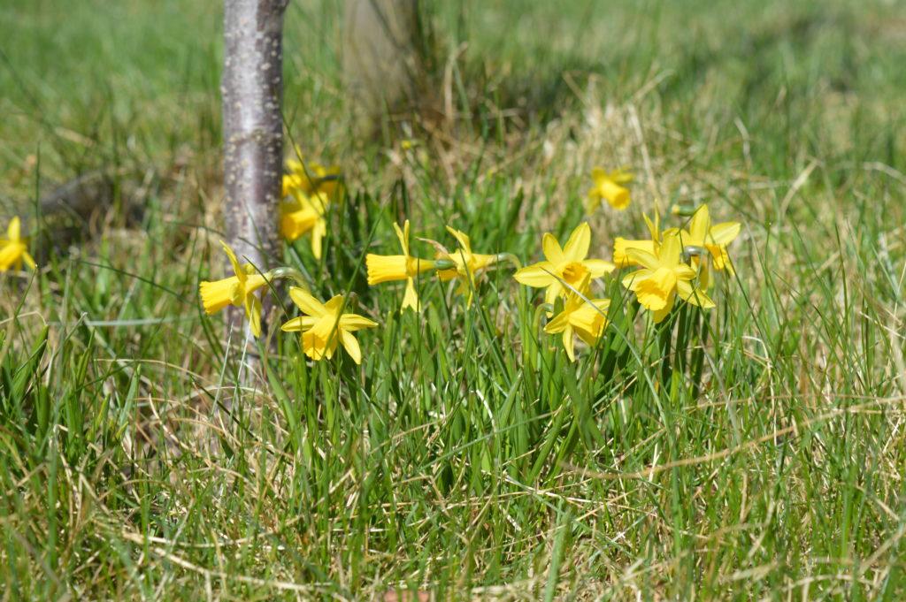 Små påskliljor kikar upp lite överallt i trädgården.